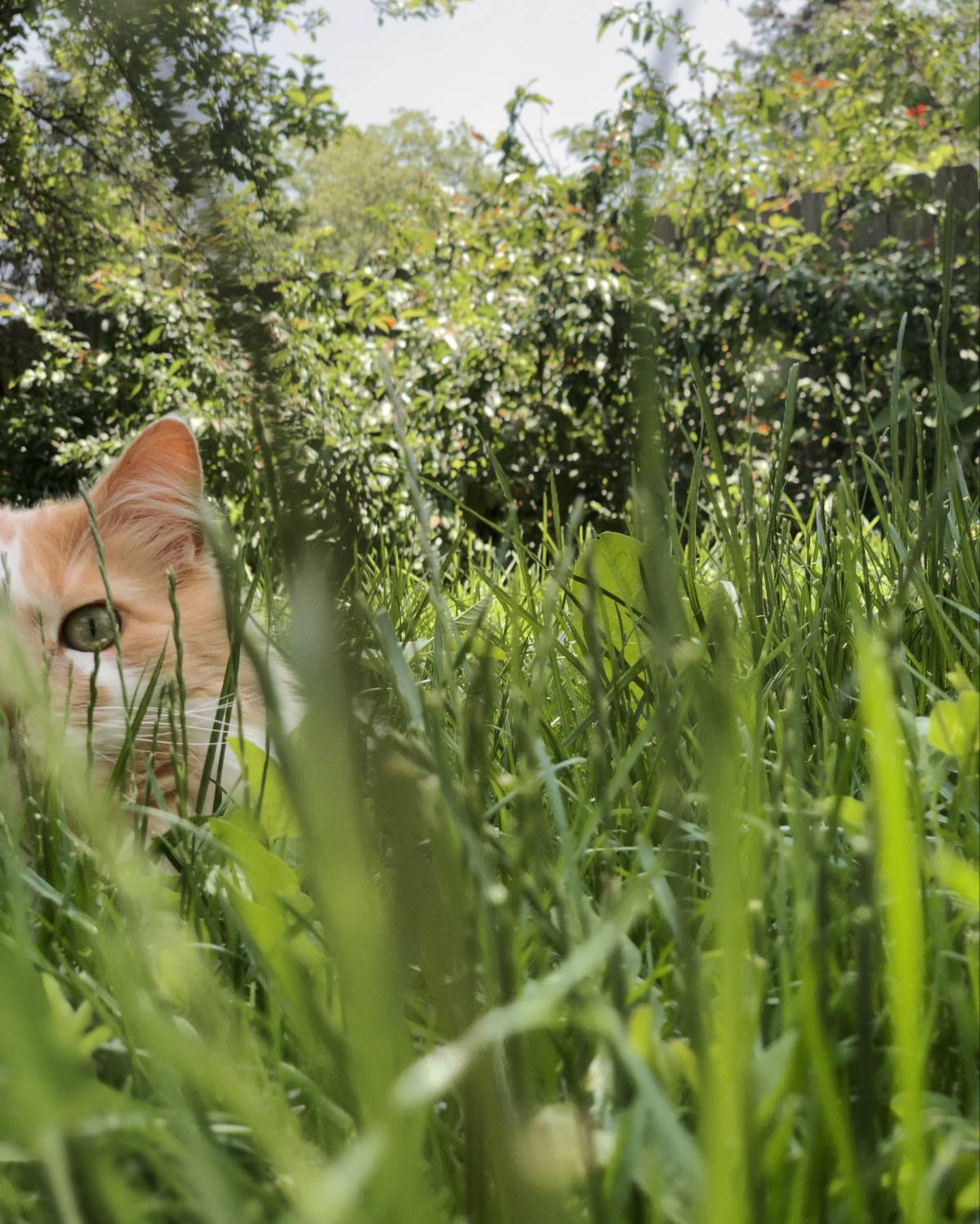 A cat tries and fails to hide in a patch of grass.
