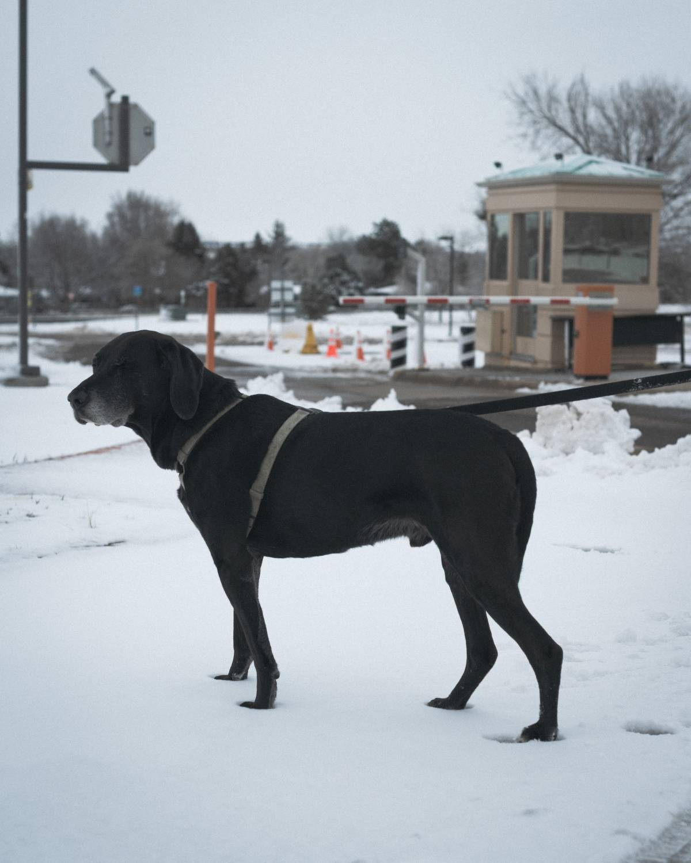 Junior on a walk after a snow storm.
