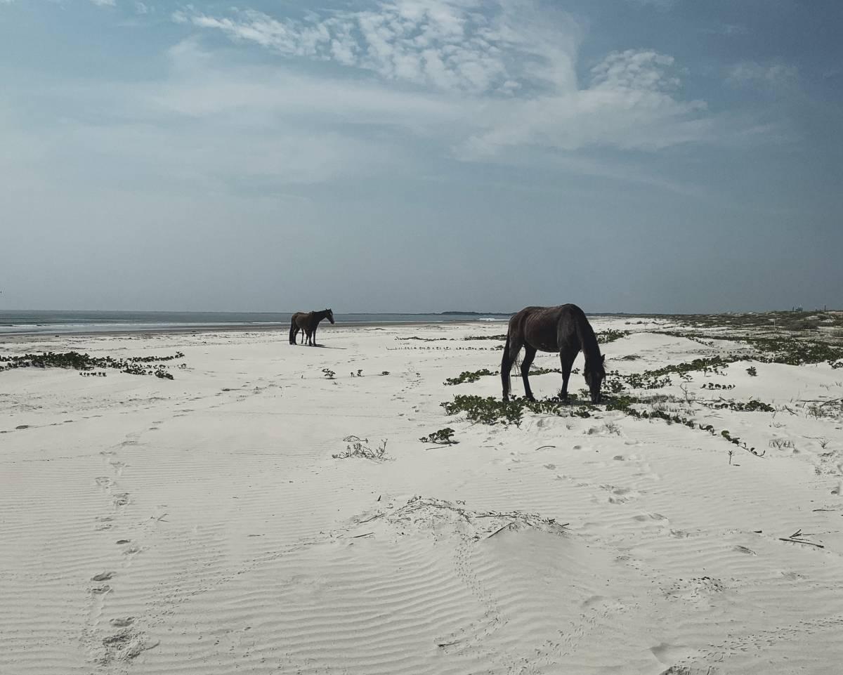 A few wild horses eat grass along the beach at Cumberland Island, GA, USA.