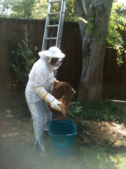 Bee removal specialist on Dallas TX