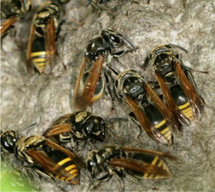 wasp removal for mexican honey wasp