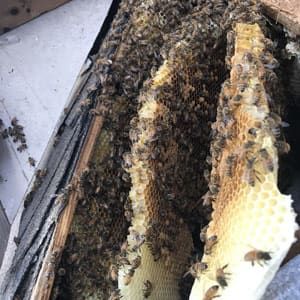 beehive problem in wall