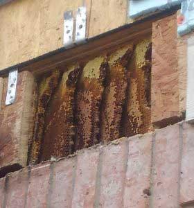 Live Beehive removal San Antonio. Beehive between floors