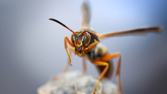 paper wasp removal