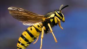 wasp removal in Phoenix
