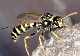 Wasp removal arlington