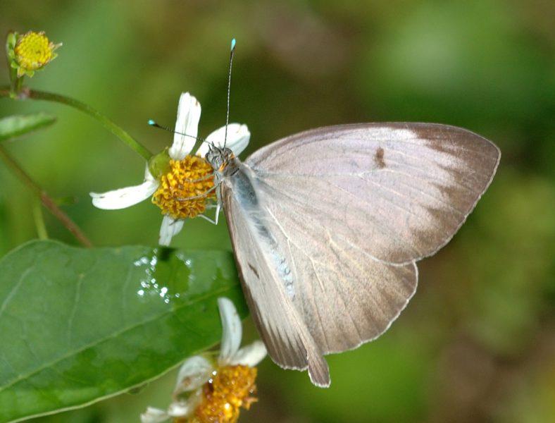 beyaz kelebek