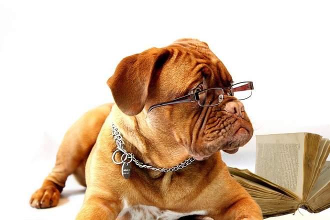 メガネの犬