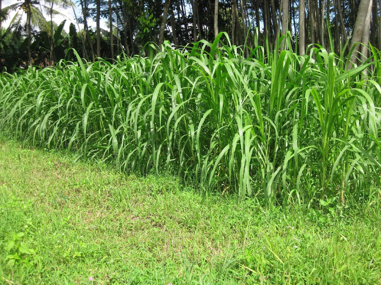 7 Manfaat Rumput Gajah