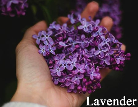 Best Lavender Essential Oils