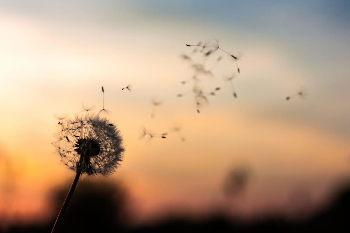 Dandelion Farewells