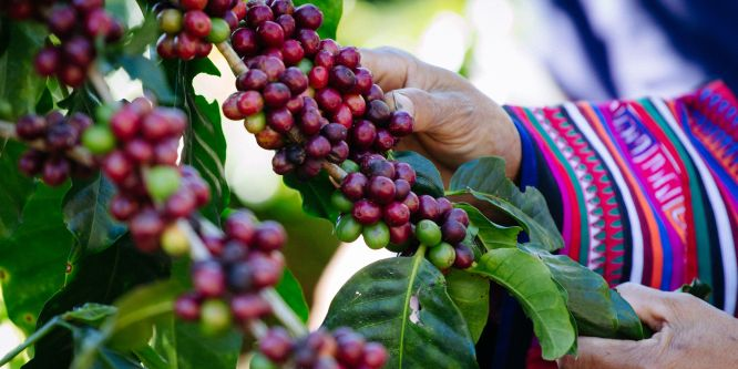 Wann ist der Kaffee ein Bio-Kaffee?