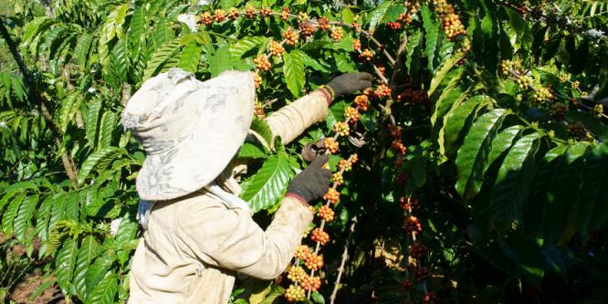 Vietnam ist zweitgrößter Kaffeeproduzent weltweit, und wer ist schuld? Die DDR!