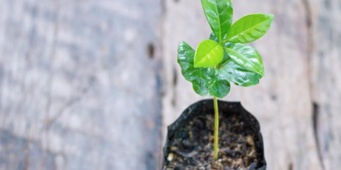 Kann ich eine Kaffeepflanze selber züchten?