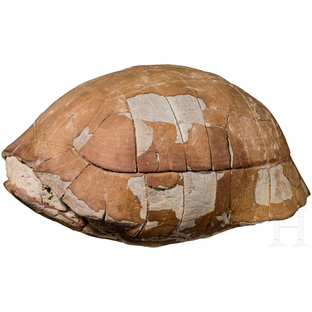 A large fossilised turtle shell