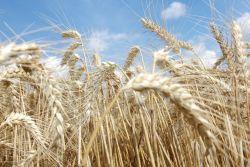 Bierista tarwe wheat.001