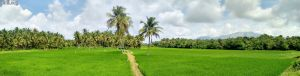 A Palakkad Trip - Paddy Fields