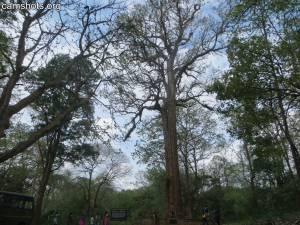 Kannimara Teak Tree