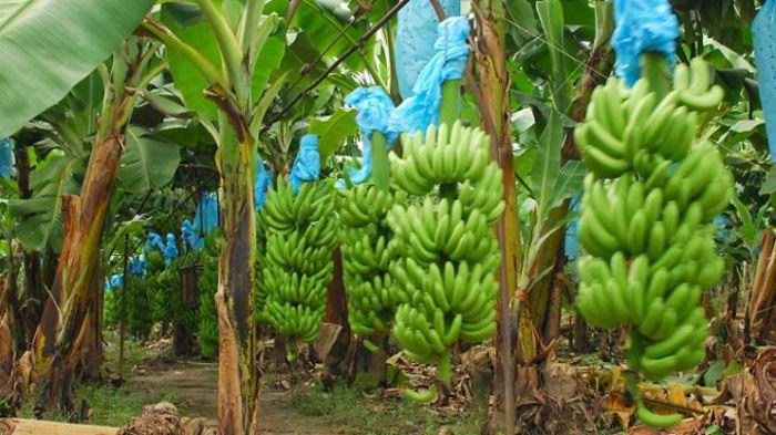 Первый в мире блокчейн-опцион на производство бананов