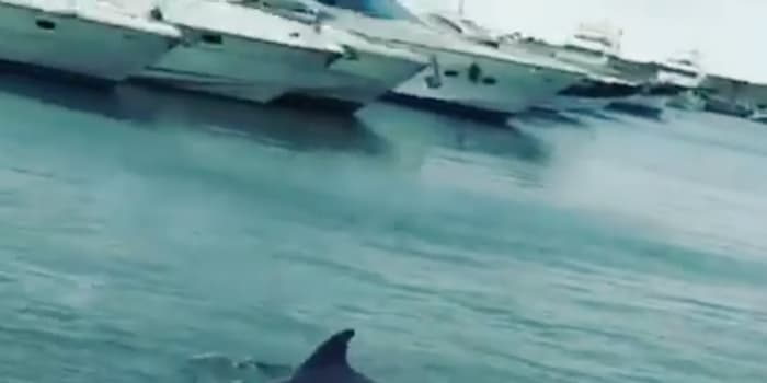 Dolphins in Barcelona during quarantine