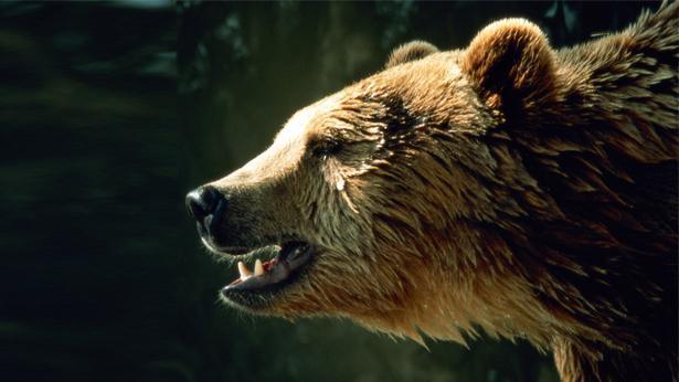 דובים בשוק ההון, צילום: Getty images Israel