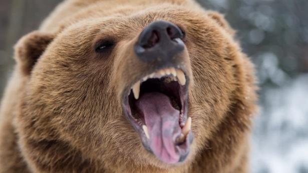 הדובים באים, צילום: Istock