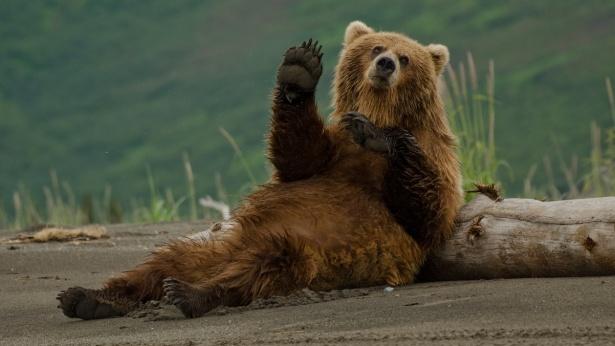 דוב, צילום: iStock