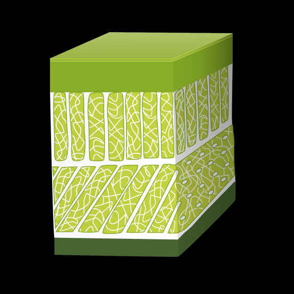 fascial layer