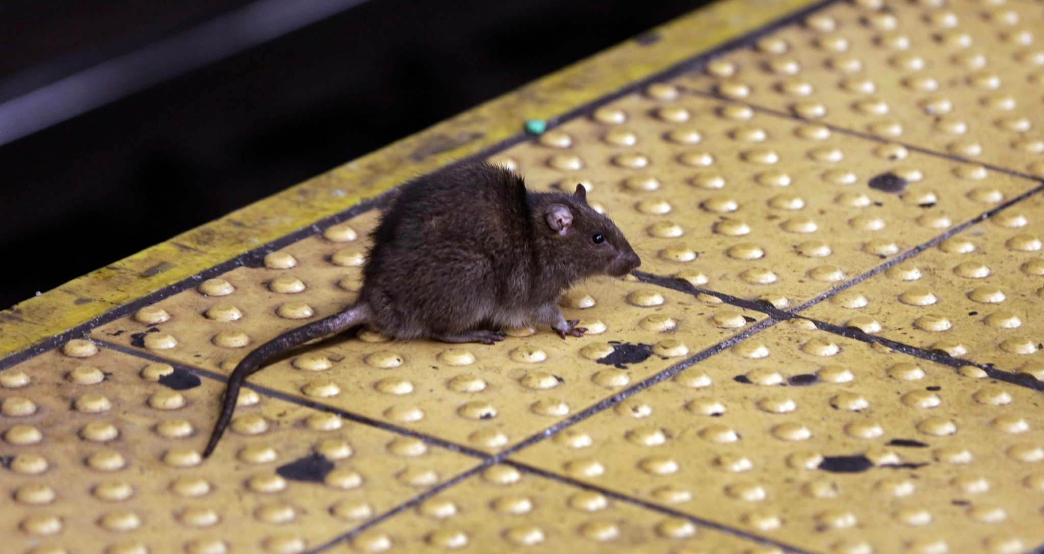 Study Suggests Gentrification Has >> Study Finds That Gentrification Has Caused A Rise In Rat Sightings