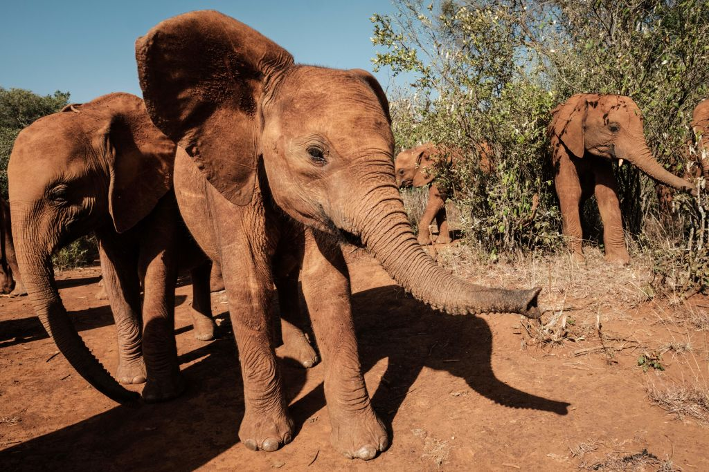 African Elephants Are Evolving Without Tusks Due To Extreme Poaching On The Continent