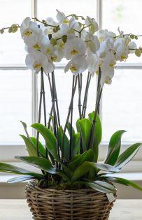 Premium Orchids