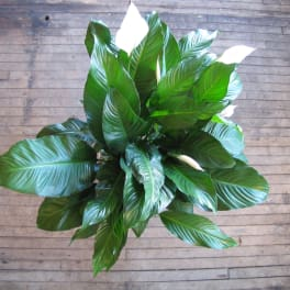 Peace Lily Standard