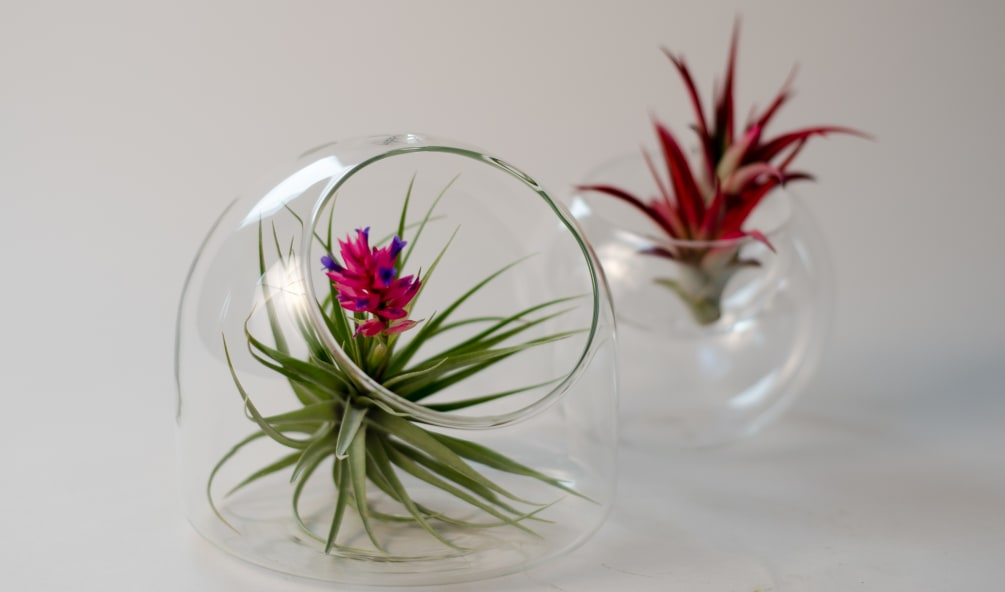 air plants doubled in clear glass containers by bloom couture floral studio. Black Bedroom Furniture Sets. Home Design Ideas