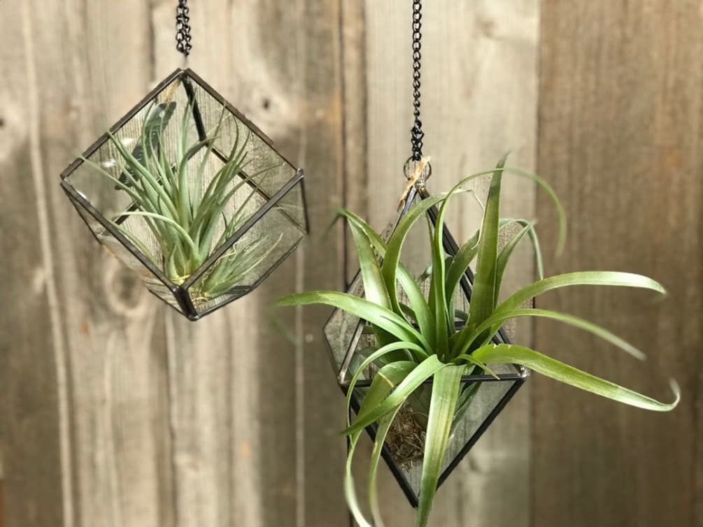 Geometric Glass Hanging Terrariums With Air Plant By Botanica Floral