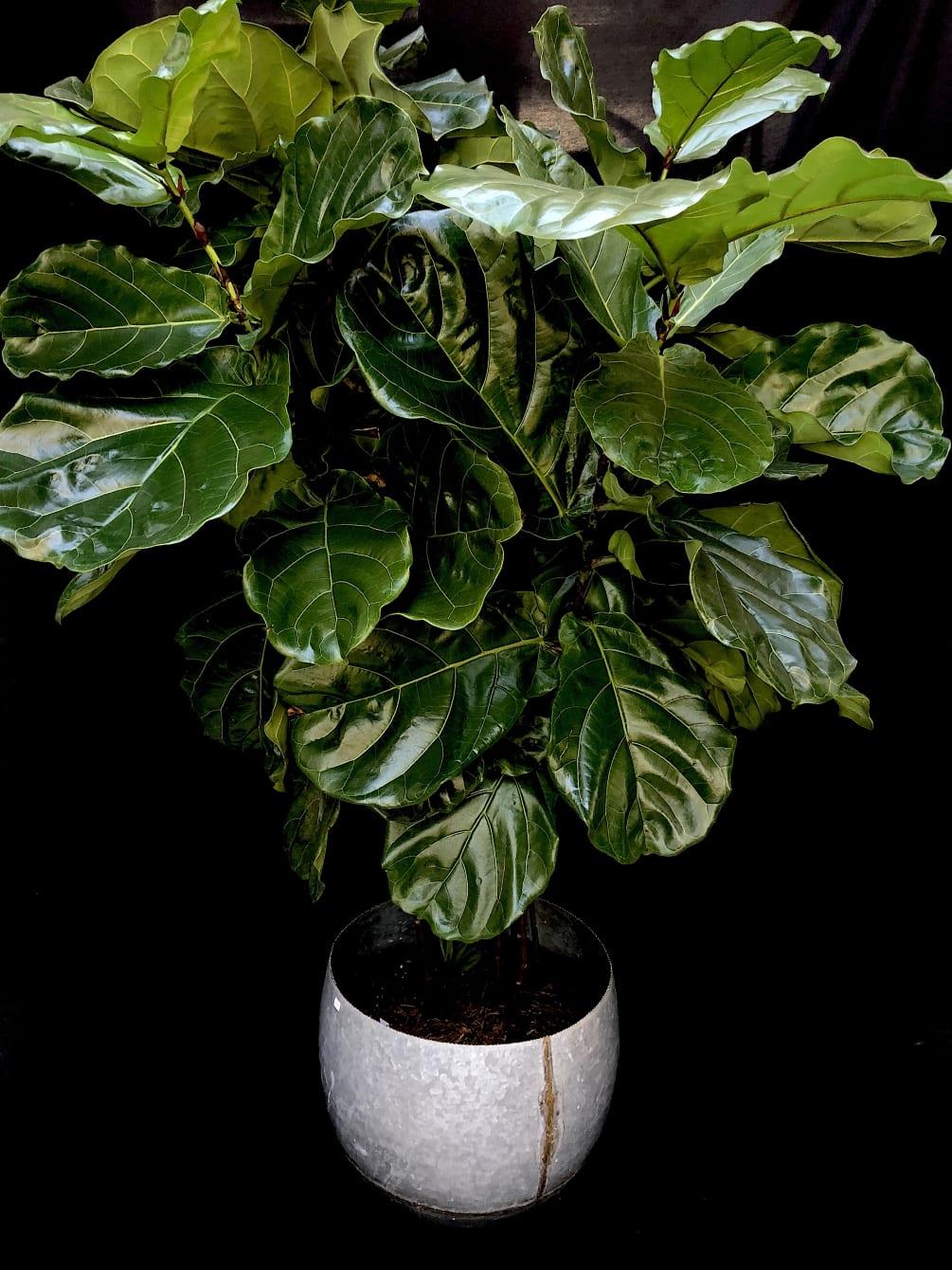 Fiddle Leaf Fig By Gazebo Gardens