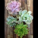 Succulent Cutting- $9.99