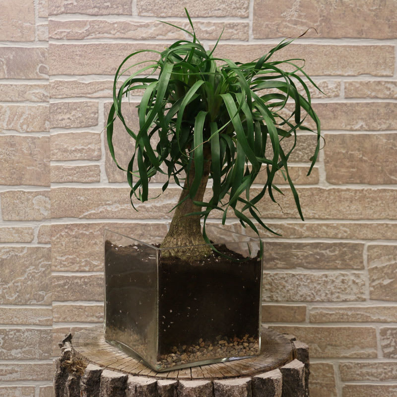 Ponytail Palm plant in Minot, ND   Flower Central on indoor pony tail plant, corn house plant, indoor palms low light, wicker basket with silk areca palm plant, ponytail bonsai plant, elephant foot house plant,