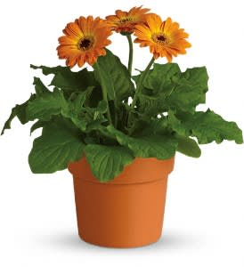 Rainbow Rays Potted Gerbera Orange In Beeville Tx Zimmer Floral And Nursery