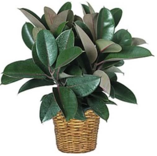 Rubber Tree Plant in Lake Worth, TX | Lake Worth Florist on rubber plant light requirements, india rubber plant, rubber tree plant, rubber plant care tips, rubber floor covering, rubber succulents, rubber leaf plant, rubber freeze plug, tall rubber plant, rubber patio, baby rubber plant, green rubber plant, jade plant, rubber paint coating, american rubber plant, rubber looking plant, rubber plank flooring, rubber fruit plant, outdoor rubber plant,