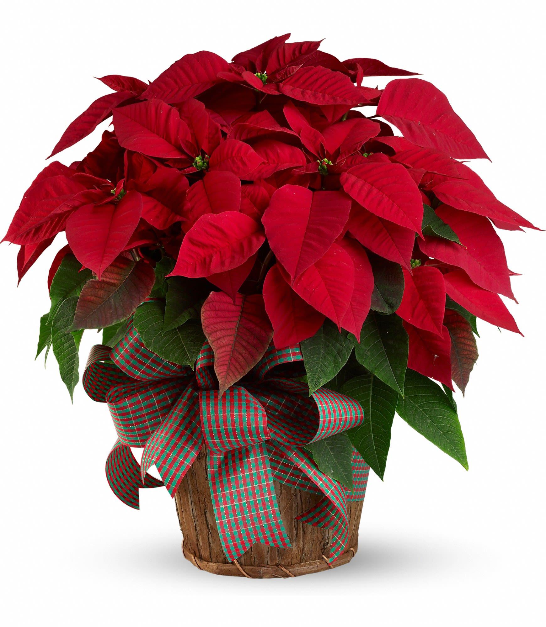 Red Christmas Flower.Large Red Poinsettia In Fullerton Ca Flower Allie