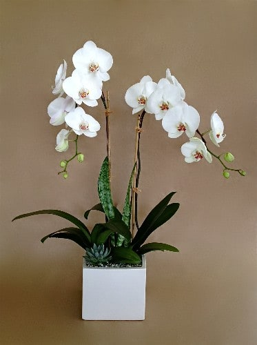 Double White Orchid by The Orchid Wrangler