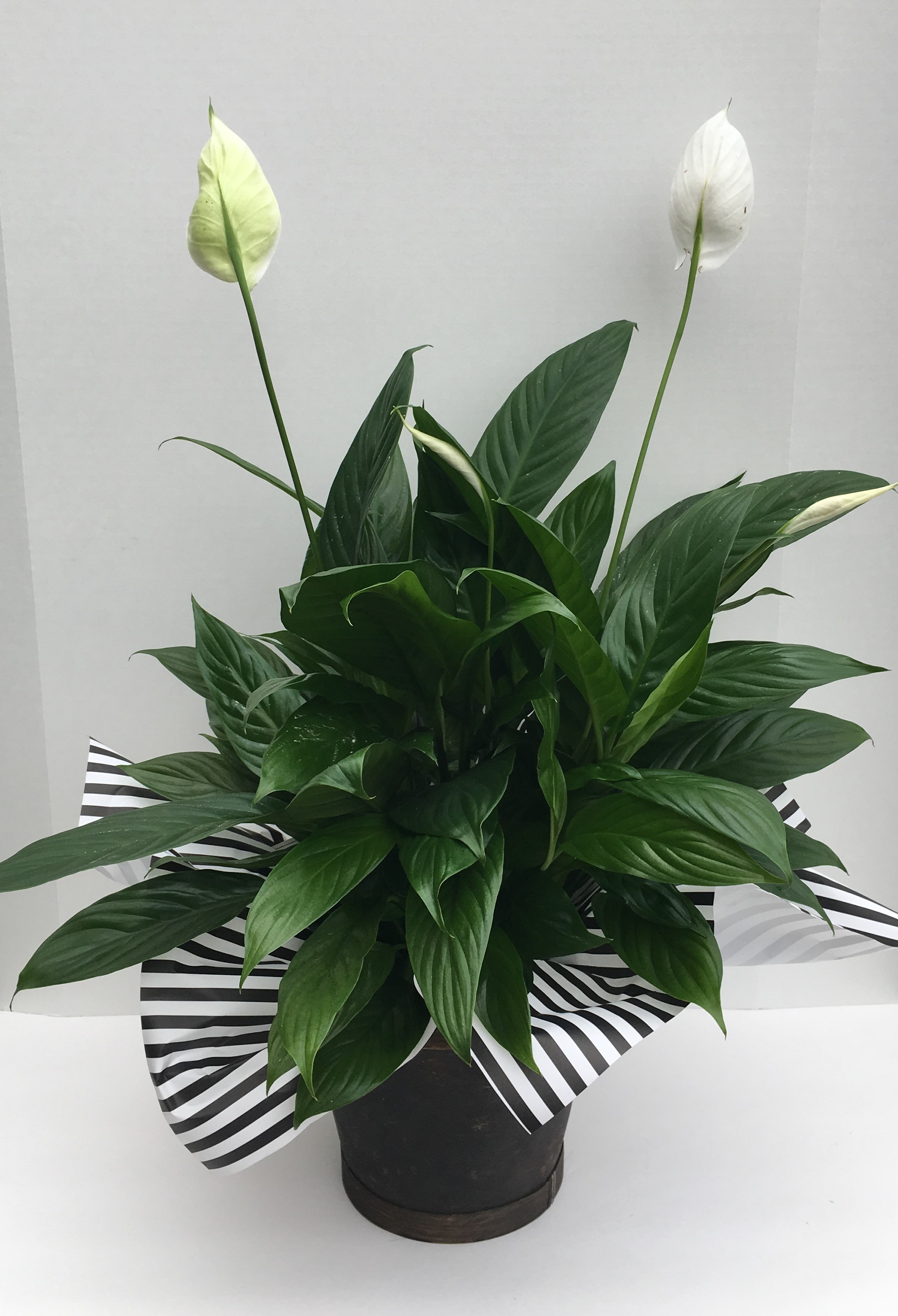 Peace Lily Plant in Bakersfield, CA | House of Flowers on corn plant houseplant, bamboo palm houseplant, dragon tree houseplant, kentia palm houseplant, snake plant houseplant, kalanchoe houseplant, begonia houseplant, nephthytis houseplant, rubber plant houseplant, philodendron houseplant, purple wandering jew houseplant, ivy houseplant, cactus houseplant, rubber tree houseplant, schefflera houseplant, dieffenbachia houseplant, boston fern houseplant, peperomia houseplant, dracaena houseplant,