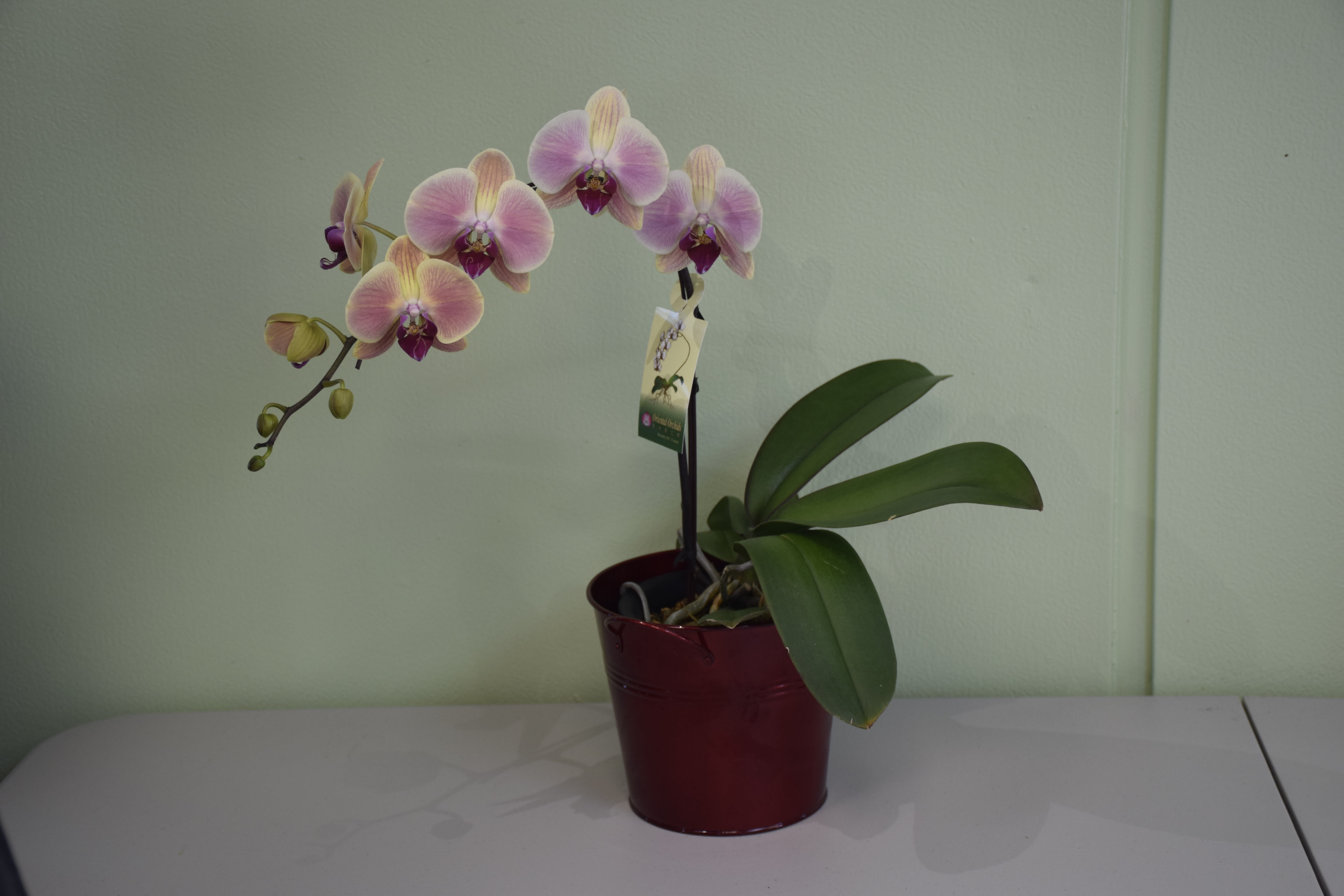 Orchid Plant By Budget Bouquet And More