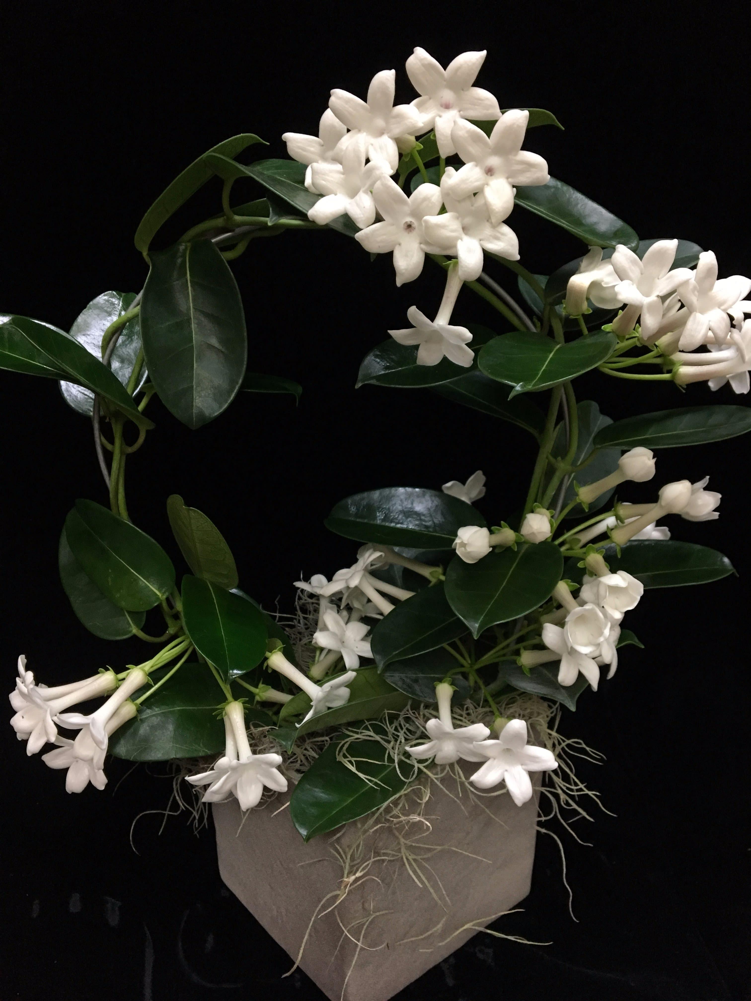 Madagascar Jasmine In New Canaan Ct Bon Fleur