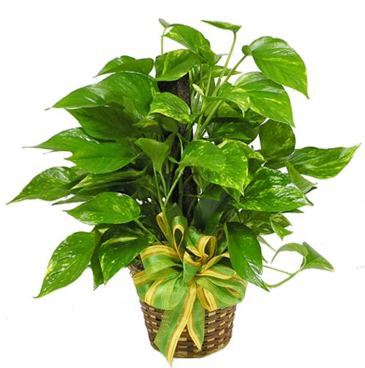 Ivy Pole Plant in Lake Worth, TX | Lake Worth Florist Green Vine Indoor House Plant Html on flowering vine house plants, decorative vine house plants, indoor glass plants, green vine house plants,
