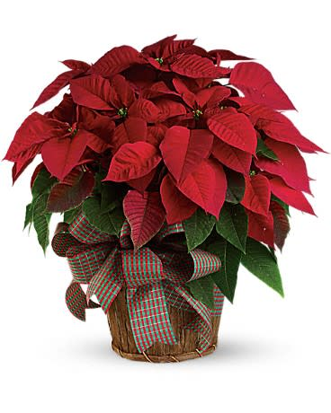 Large Red Poinsettia