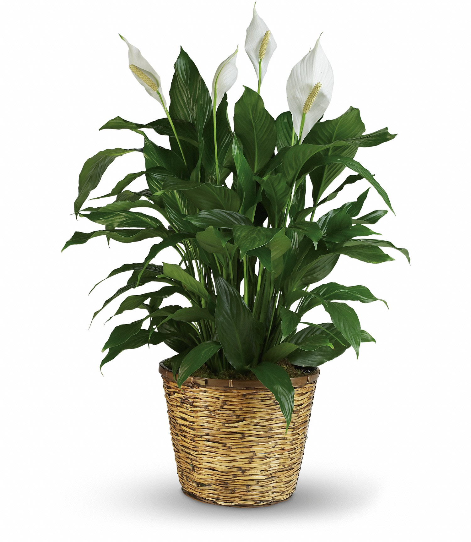 Simply Elegant Peace Lily in Cherry Hill, NJ | Jacqueline's Flowers on corn plant houseplant, bamboo palm houseplant, dragon tree houseplant, kentia palm houseplant, snake plant houseplant, kalanchoe houseplant, begonia houseplant, nephthytis houseplant, rubber plant houseplant, philodendron houseplant, purple wandering jew houseplant, ivy houseplant, cactus houseplant, rubber tree houseplant, schefflera houseplant, dieffenbachia houseplant, boston fern houseplant, peperomia houseplant, dracaena houseplant,