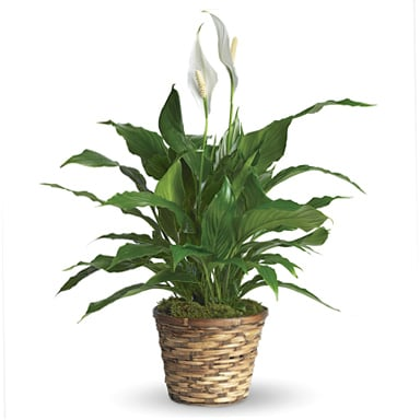 Peace Lily in Richmond, CA | Park Florist on pineapple plant house plant, dragon plant, black gold lily plant, zamiifolia house plant, croton house plant, peace lily plant benefits, problems with peace lily plant, artificial bamboo house plant, black bamboo potted plant, peace lily family plant, peace lily potted plant, classic peace lily plant, chinese evergreen house plant, marginata house plant, weeping fig house plant, peace plant brown leaves, holly house plant, white and green leaves house plant, funeral peace lily plant, droopy peace lily plant,