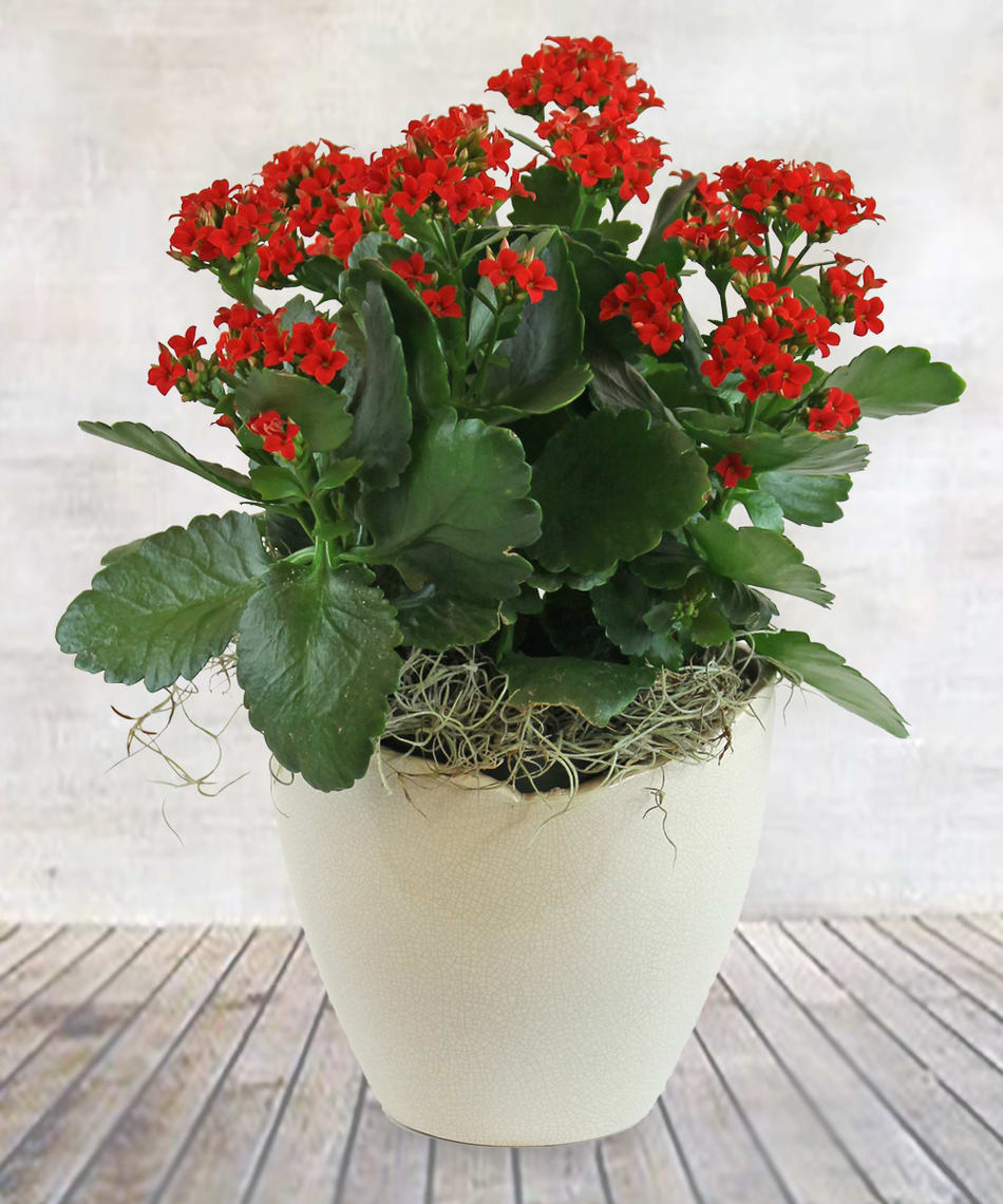Red Kalanchoe Plant In Woodbury Mn Sweet Peas Floral