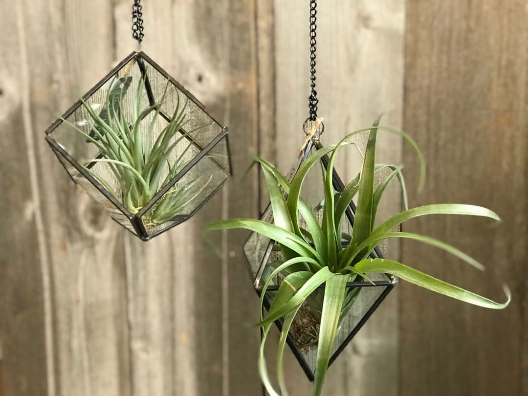 Geometric Glass Hanging Terrariums With Air Plant In Portland Or